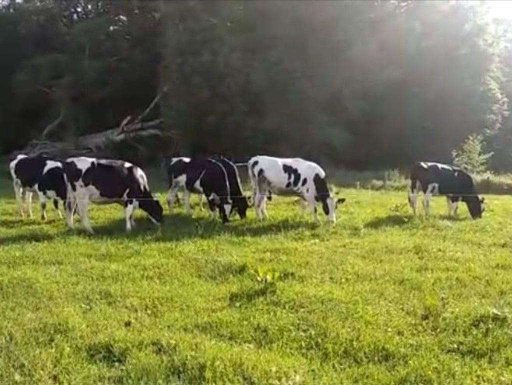 vacas pastando Recort PROCES